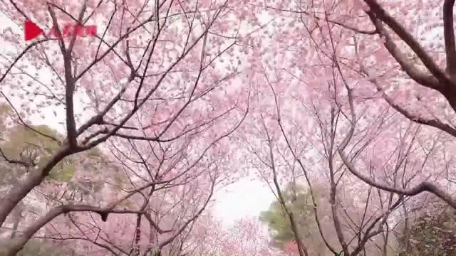 春天終會到來!武漢東湖櫻園櫻花盛開,戰疫勝利後一起去賞花