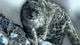 令人吃惊的雪豹捕猎岩羊,飞檐走壁后同归于尽?