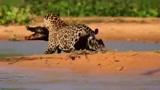 狮王捕杀世仇鬣狗,野生动物经典猎杀镜头,稳准狠,丝毫不犹豫!