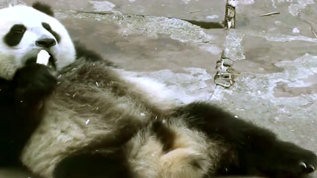 两个熊猫宝宝PK吃饭,坐着吃,躺着吃,好不悠闲啊_神马搜索
