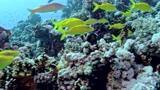 拥挤的珊瑚礁暗藏杀机 漂亮小鱼捕食快如闪电