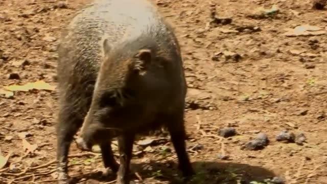 这种猪型动物居然是美洲豹都斗不过的硬茬儿!