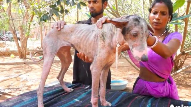 狗狗全身沒有毛髮,面對救援還很緊張想要逃,1個月後完成蛻變!