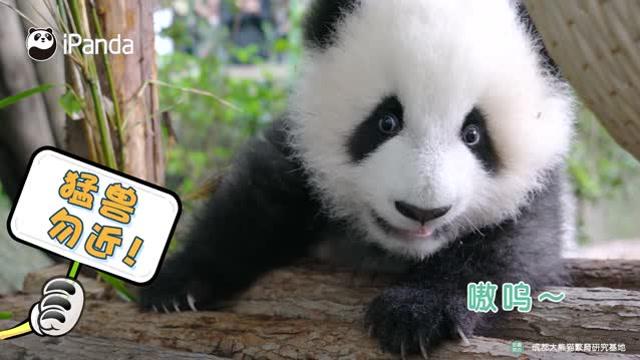 """大熊貓""""食鐵獸""""的名號是浪得虛名嗎?"""