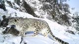 雪豹捕猎野山羊,在悬崖上上演惊心动魄的追击!
