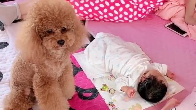 泰迪模仿小主人的睡姿!唯妙唯俏!太可愛了