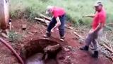 一头水牛掉到水井里,国外消防员好不容易才把牛拉了上来