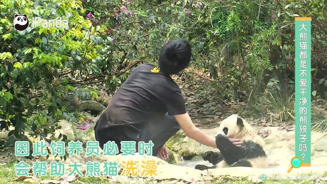 大熊貓都是不愛乾淨的熊孩子嗎
