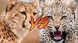 动物世界超惊人猎杀,狮群捕杀巨型长颈鹿,花豹杀死猎豹