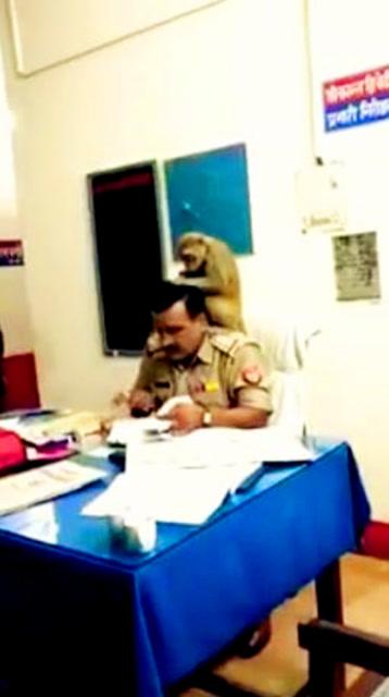 神操作!猴子幫印度警察抓頭髮 警察面不改色任猴擺佈