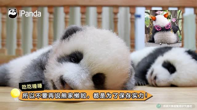 大熊貓爲什麼總是吃吃睡睡?
