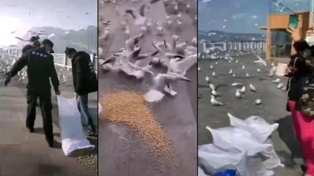 西伯利亞海鷗飛到滇池突然沒人餵了?昆明派了專人去投喂!