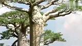 被称为沙漠水塔的树有多神奇?一棵树就是一口救命水井!