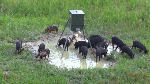 野猪群过来喝水,全然不知箭正瞄准它们