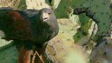 做最帅的鹰吃最野的兔子,栗翅鹰全家合作捕猎瞬间帅到炸裂