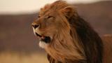 狮王捕杀世仇鬣狗,野生动物经典猎杀镜头,稳准狠!