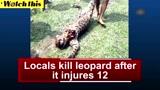 印度一只花豹伤12人 最终被村民杀死