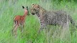 豹子猎杀动物镜头,全速追击猎物太刺激了