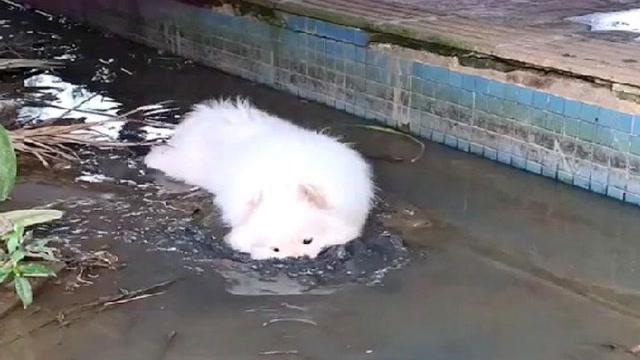 好好一隻雪白的薩摩耶,非得去泥塘裏浪,有人告訴我這狗還能要麼