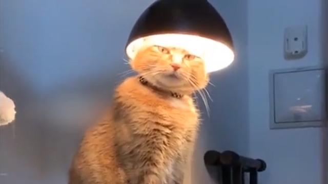 倍儿搞笑:沉迷烫头的猫