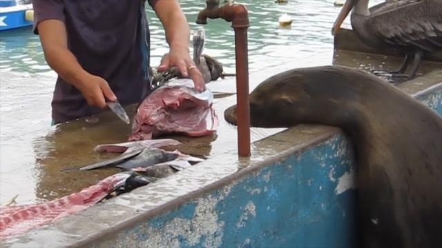 海豹嘴里的食物被抢走