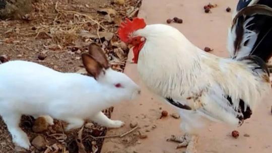 公鸡第一次看到兔子的举动