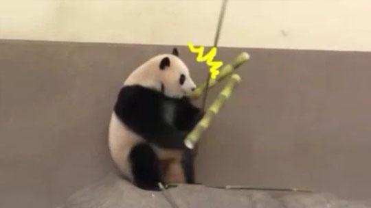熊猫正吃竹子突然被一根竹笋砸中