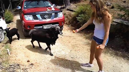 女子给公羊喂胡萝卜