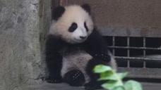 熊猫宝宝躲在门后要吓唬人,还没准备好门就开了,下一秒就悲催了