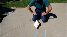在鸡面前画直线,鸡会有什么反应?结果引人深思!