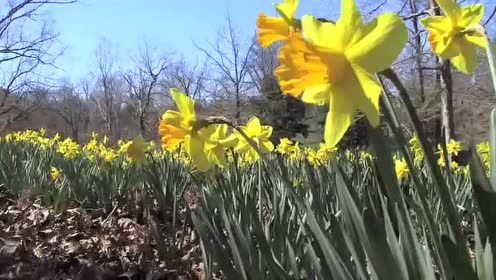 Mrs. Lee's Daffodil Garden in Gladewater