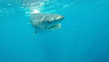 这条鲨鱼急眼了!