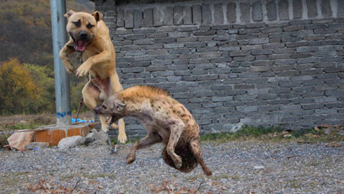 美国比特犬打架视频海报