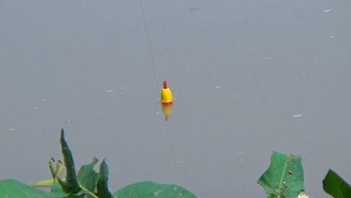 都是罗非鱼,你会去钓吗?