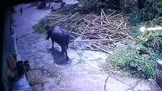 开平特警英勇战疯牛