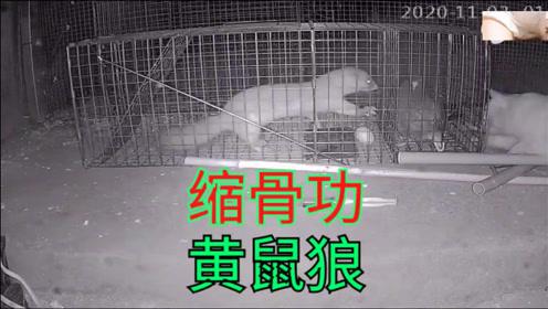 误入笼子的黄鼠狼是如何逃出升天的,看看真正的缩骨功,视频还原