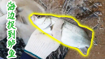海边投渔网,网到鲈鱼了!
