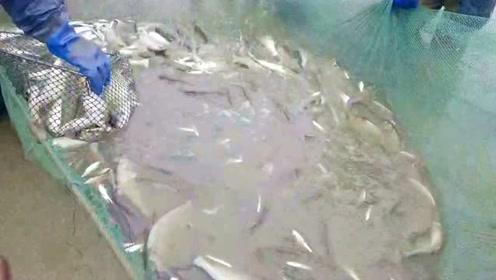 小哥清理鱼塘大丰收,满船都是极品好鱼,今天又是大赚一笔