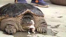 村民抓18斤大龟想送动物园,专家:杀了吃掉