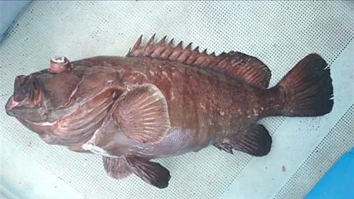 几百米深海的石斑鱼,出水面是这个样子的!
