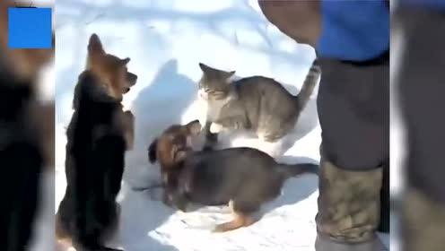 Cute cat Thunder slams two flat dogs and fights with static brakes.