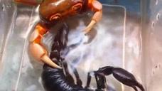 大家都是有钳子的,为什么对我如此残忍,网友:蝎子哥脾气真大!