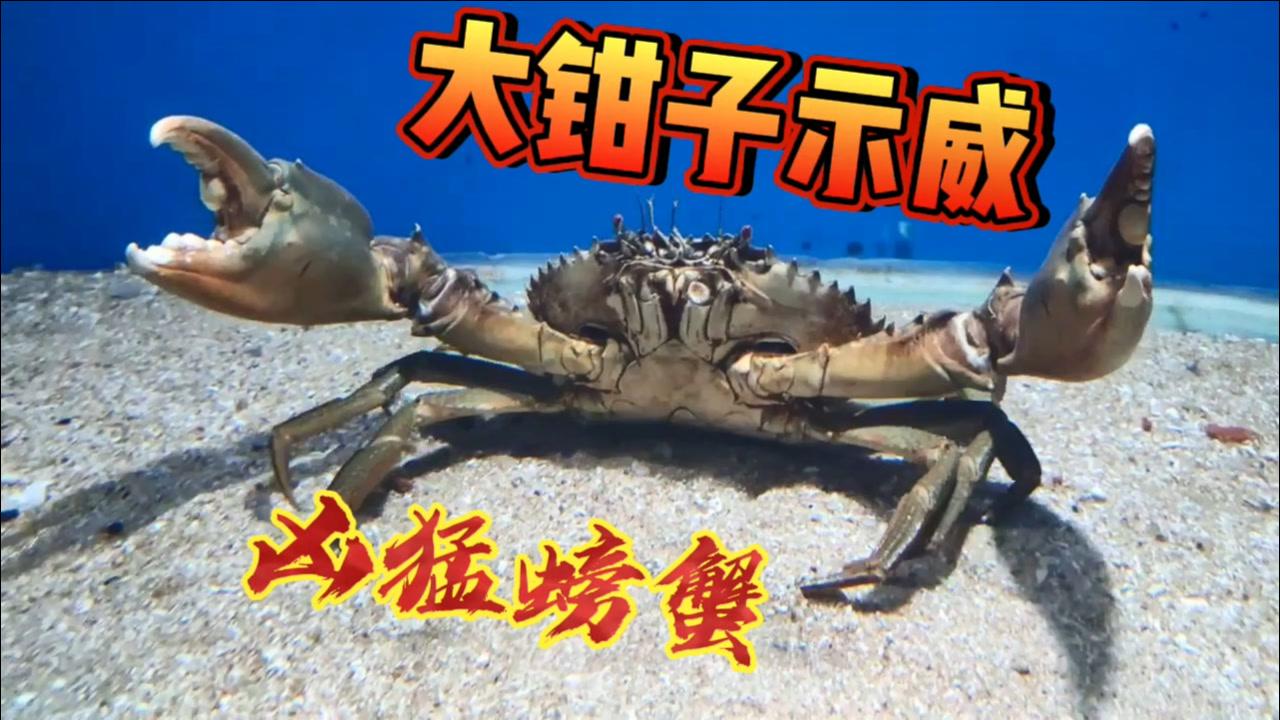 养只大螃蟹,天天举着大钳子!