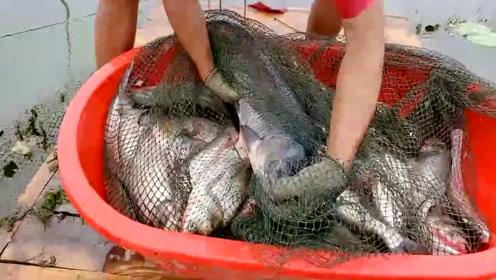 农村小哥去收地笼,两个人才能拉起来,十几斤的大青鱼