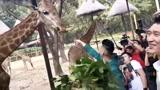 孙悦、林书豪、翟晓川喂长颈鹿树叶,孙悦还被长颈鹿吐了口水