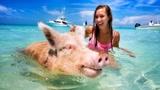 一群小猪成网红了!游泳晒太阳,还有美女抢着和它们合影