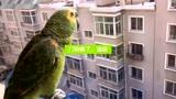 鹦鹉欢迎男主人回家那叫一个激动呀,女主好嫉妒