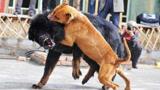 中国神犬藏獒和美国比特犬决斗,结果会怎样?视频记录厮杀全过程!